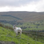 Ewe in the top end of Raydale in the Yorkshire Dales