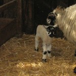 3 day old lamb at High Force farm neighbouring farm to High Blean B&B Bainbridge, Askrigg, in the Yorkshire Dales
