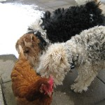 High Blean B&B House dogs Victoria & Albert with a chicken at High Blean B&B Bainbridge, Askrigg in the Yorkshire Dales