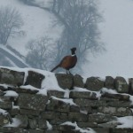 A photo of a pheasant on the wall of High Blean B&B over looking Semer Water in Raydale