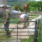 Shearing of Swaledale ewes at High Blean Bainbridge