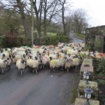 Swaledale ewes on their way to be scanned for pregnancy at High Force Farm Raydaleside Yorkshire Dales