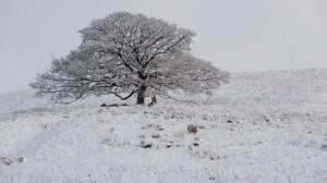 Tree in Raydaleside opposite High Blean B&B