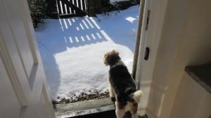 Albert the Fox Terrier at High Blean B&B Askrigg looks at the new snow fall.