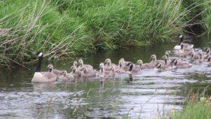 Gang of Goslings