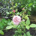 Victoria's Rose.