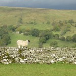 Swaledale Ewe on the wall of High Blean B&B, Semer Water near Hawes.