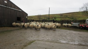 Ewe's getting ready for release after scanning