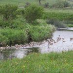 Geese patrol on the Bain