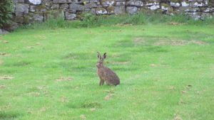 Hare playing in our garden